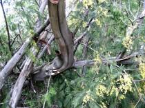 Mimosa in dead wood