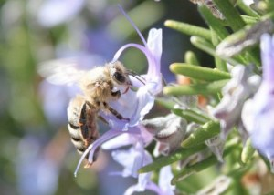 bee-on-rosemary