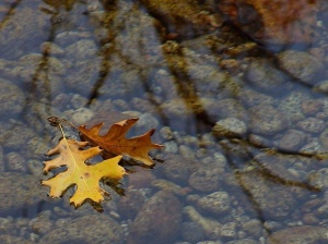 leaves_floating_on_water-1024x768