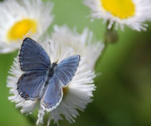 086e-closer-peek-eastern-tailed-blue-male