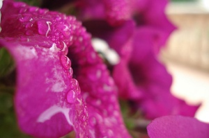 petunia wet
