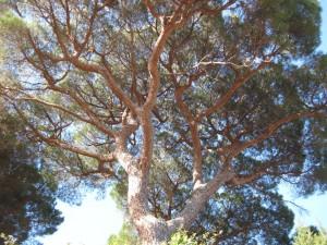 parasol pines