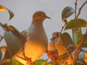 Mouring doves