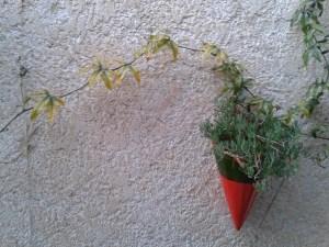 Passiflora vine